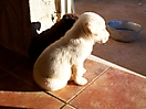 Cachorros de labrador_5