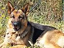 Cachorros pastor aleman_10