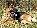 Cachorros pastor aleman_11