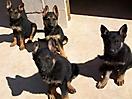 Cachorros pastor aleman_7