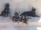 Cachorros de Rex_11