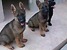 Cachorros de Pastor Aleman grises_10