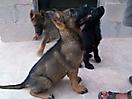 Cachorros de Pastor Aleman grises_11