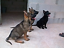 Cachorros de Pastor Aleman grises_12