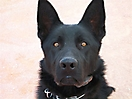 Cachorros de Pastor Aleman grises_1