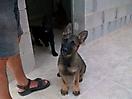 Cachorros de Pastor Aleman grises_3