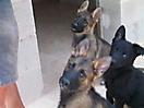 Cachorros de Pastor Aleman grises_4