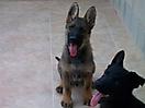 Cachorros de Pastor Aleman grises_6
