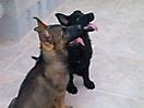 Cachorros de Pastor Aleman grises_8
