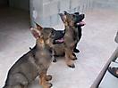 Cachorros de Pastor Aleman grises_9