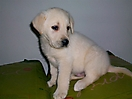 Labrador amarillo_4